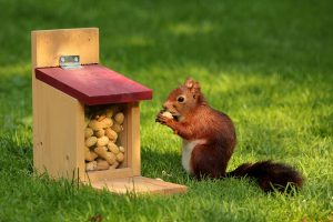 squirrel storing peanuts